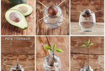 как выростит авокадо