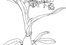 Orchid coloring