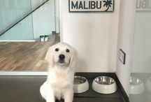 Sweet Malibu - Golden Retriever White