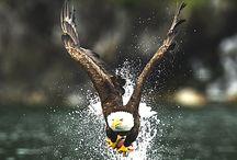 Bald Eagles etc.