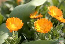 Des fleurs dans les legumes