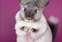 chinchillas are the best! (my favourite animal)