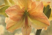 Bloemen - Amaryllis