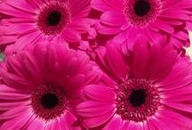 gerbera / Papatyagillerden en güzel çiçek