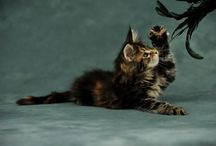 Maine Coon - Black Torty Tabby Blotched / #MaineCoon Black Torti Tabby Blotched Cats