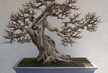 Fig bonsai