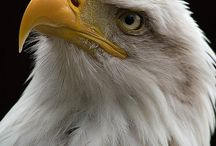 orzeł - eagle