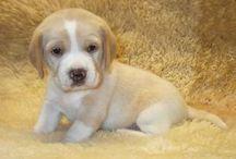Kölyök beagle kutyák