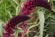 Plants - Perennials 2016