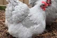 Hen Pecked