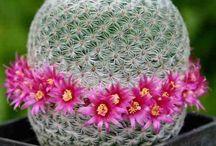 Cactus / Vários tipos de flores de Cactus