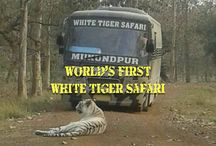 World's First White Tiger Safari!