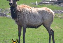 2017 Elk at Oak Creek / Oak Creek has some of the largest elk in the country roaming the Ozark hills. To join us, call 573-943-6644.