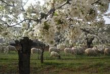 Cerezos en flor en Covarrubias / Entre Marzo y Abril florecen los cerezos en el Valle de Covarrubias y es un paisaje muy bonito en esos días para visitar esta zona y hacer bonitas fotos.