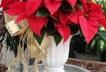 Poinsettias and Holiday Plants
