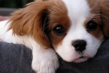 I Love Cavalier King Charles Spaniels / For people who love Cavalier King Charles Spaniels