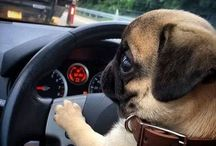 Pugs Driving