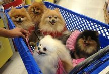Teds Pommie Mommie / Pomeranian mania / by Karen Connelly