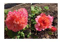 Roses rose ros