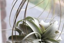 Support Tillandsia