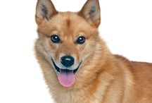 Finnish Spitz / The Finnish Spitz popularity has extended beyond its native Finland where it has remained the countries national dog since 1979. As of 2011, the Finnish Spitz ranked 167 on the American Kennel Club's registration. See more at: http://www.noahsdogs.com/m/dogs/breed/Finnish-Spitz#sthash.jnAhhvXY.dpuf www.NoahsDogs.com