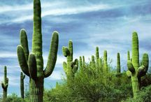 """☯    Cactus   ☯ / """"I am the Love Cactus. Make desert to me."""" ― Jarod Kintz, My love can only occupy one person at a time ― / by Bob Dit L'Ane"""