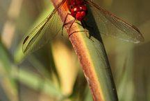 Libellule - Odonata / foto di libellule