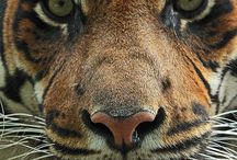 Animals - Tiger is the Wild Cat