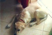 Maggie / #labrador #labradorretrivier #Maggie