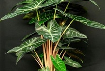 Tropicals can take you away! / In my Northern climate, I savor every warm day! Using Tropicals in our containers is a great way to bring the  tropics to Minnesota! / by Viola Nursery and Greenhouse