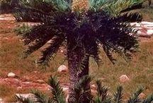 Lebomboensis (Mananga)