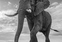 epephants / elephants  tattoos