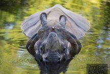 La plaine Asiatique / Une promenade sur pilotis surplombe la Plaine Asiatique, investie par des rhinocéros indiens, tapirs à dos blanc, antilopes asiatiques et grues… pour une balade dépaysante !