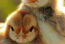 Chicken Photograhy