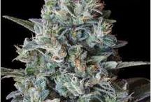 """""""420"""" Grow Guides / Guides on How to Grow Medical Marijuana"""