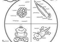 Κύκλος ζωής βάτραχου