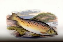 MSU Library Trout & Salmonid Collection / The Trout and Salmonid Artwork Digital Collection holds sample artwork found in the Montana State University Library Trout and Salmonid Special Collection. See more of this collection at https://arc.lib.montana.edu/trout-art/ / by Montana State University Library