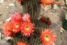 Kaktuszok, pozsgásak