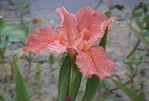 a louisiana iris