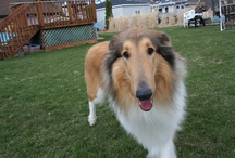 Dogs I've Fostered For Collie Rescue Of Greater IL