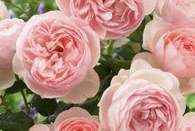 Roses des jardins anglais
