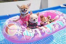 Chihuahua puppies / #cutepups