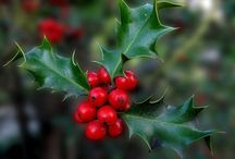 Christmas Plants, Meanings & Traditions