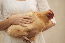 Chook Love (Chickens)