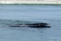 Hermanus Whales / SOUTHERN RIGHT WHALES