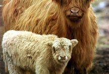Highland coos