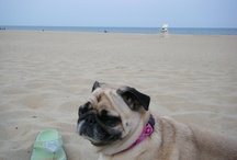 Bella and Winnie / Our sweetest pug, Bella, who passed away May 2013...our new little warm bear, Winnie, born in August 2013...and all things Puggy!