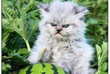 Кот-котец