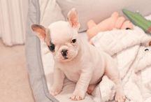 Frenchy bulldog ❤