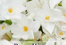 Scented Narcissi Varieties